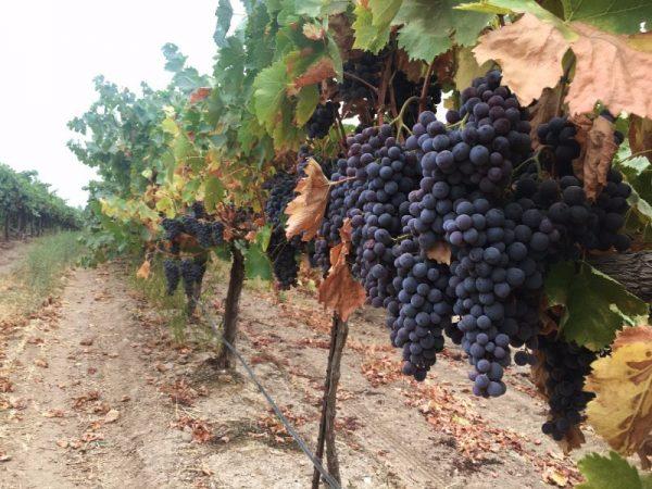 c8e2274231f6 Harvest 2017 - Cinsault at San Lucas Vineyard.