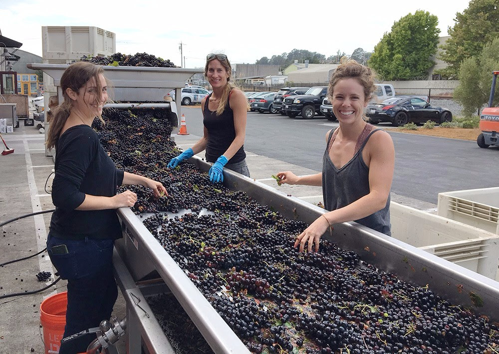 Harvest 2017 - Sara, Nicole and Helen sorting Cinsault from Bechtold Vineyard.