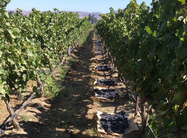 Harvest 2017 - Grenache at Ventana Vineyard.